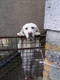 Labrador retriver, mlad pas