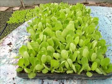 Rasad zelene salate