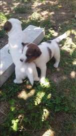 russell terrier, štene