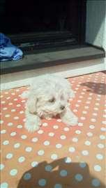 Maltezer, štene