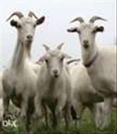 Prodajem koze i jariće