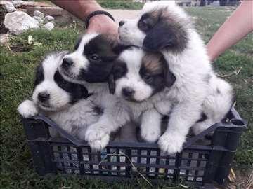 Na prodaju štenci bernandinca