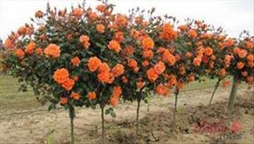 Razne sadnice ruža stablašica, mini ruža, sadnice