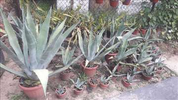 Agava kaktus