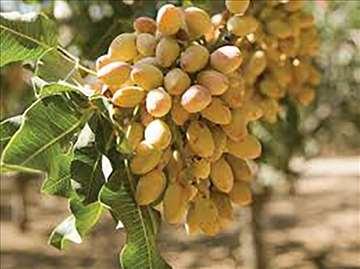 Kontejnerske sadnice pistacia vera jestivi