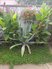 Agava kaktusi