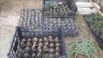 Kaktusi, povoljno