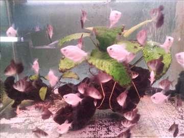 Akvarijumske ribice na veliko i malo