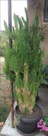 Kaktusi na prodaju