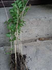 Godzi-mlade sadnice