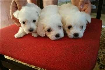 Maltezer štenci na prodaju