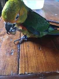 Nestao papagaj Roki
