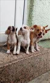 Čivava, štene