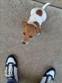 Džek Raselov terijer,žensko štene