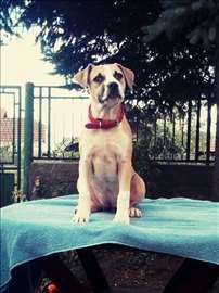 Američki stafordski terijer, štene-povoljno