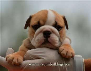 Buldog, štene
