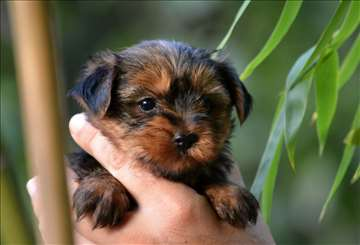 Jorkširski terijer, štene