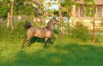 Kobila Pakra - lipicanerka