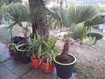 Palma u saksiji