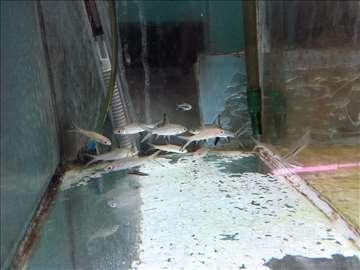 Silver Shark - ajkulica