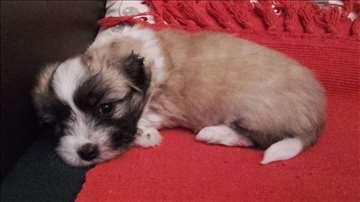 Tulearski pas, štenci Užice, cena po dogovoru