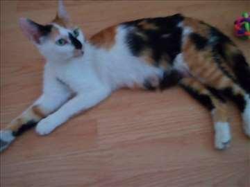 Poklanja se lepa trobojna maca sa zelenim očima