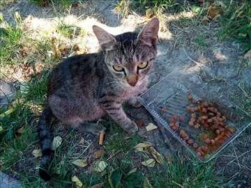 Poklanja se mlada tigrasta maca sa zelenim očima