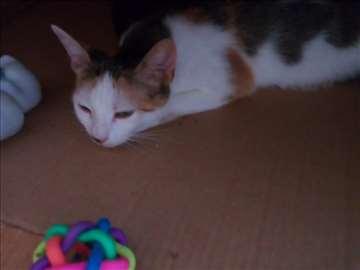 Poklanja se mlada trobojna maca sa zelenim očima