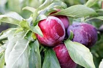 Sadnice svih vocnih i loznih vrsta veoma povoljno