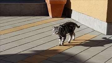 Britanska kratkodlaka (silver tabby) odrasla mačka