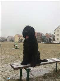 Crni ruski terijer, štene