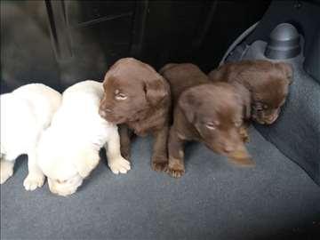 Labrador retriver, štene