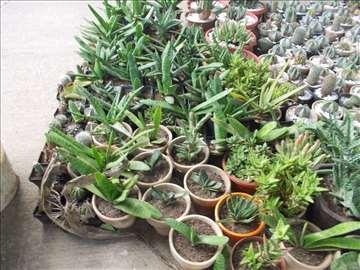 Kolekcija kaktusa