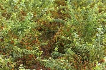 Plantažno gajenje šipka – povratak iz zaborava