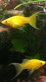 Žuta molly i žuta molly lira