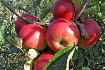 Sadnice jabuka