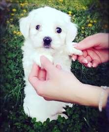 Maltezer , štene