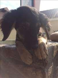 Mešanac, štene oko 3 meseca
