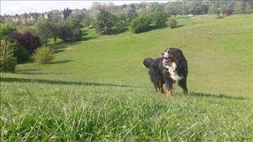 Mužjak Bernskog planinskog psa spreman za parenje
