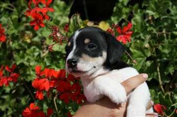 Džek Raselov terijer, štene