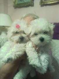 Mini maltezeri - čistokrvni štenci