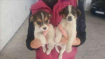 Dva muška šteneta na poklon
