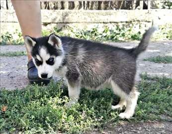 Na prodaju štenci sibirskog haskija
