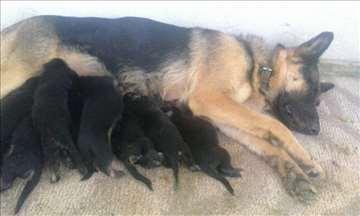 Nemački ovčar, štene