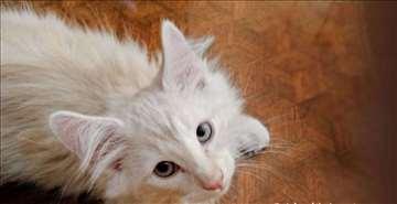 Norveška šumska mačka, mačići