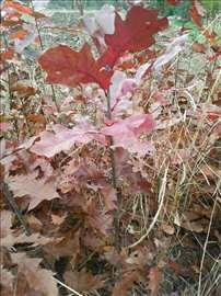 Sadnice crvenog hrasta