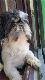 Ši-cu, mlad pas