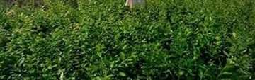 Američka visokožbunasta borovnica, sadnice
