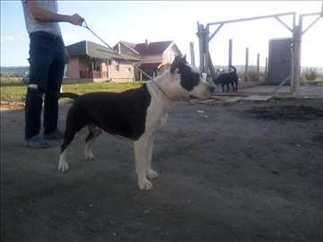 Američki stafordski terijer, odrastao pas