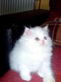 Persijski mačići - svih boja